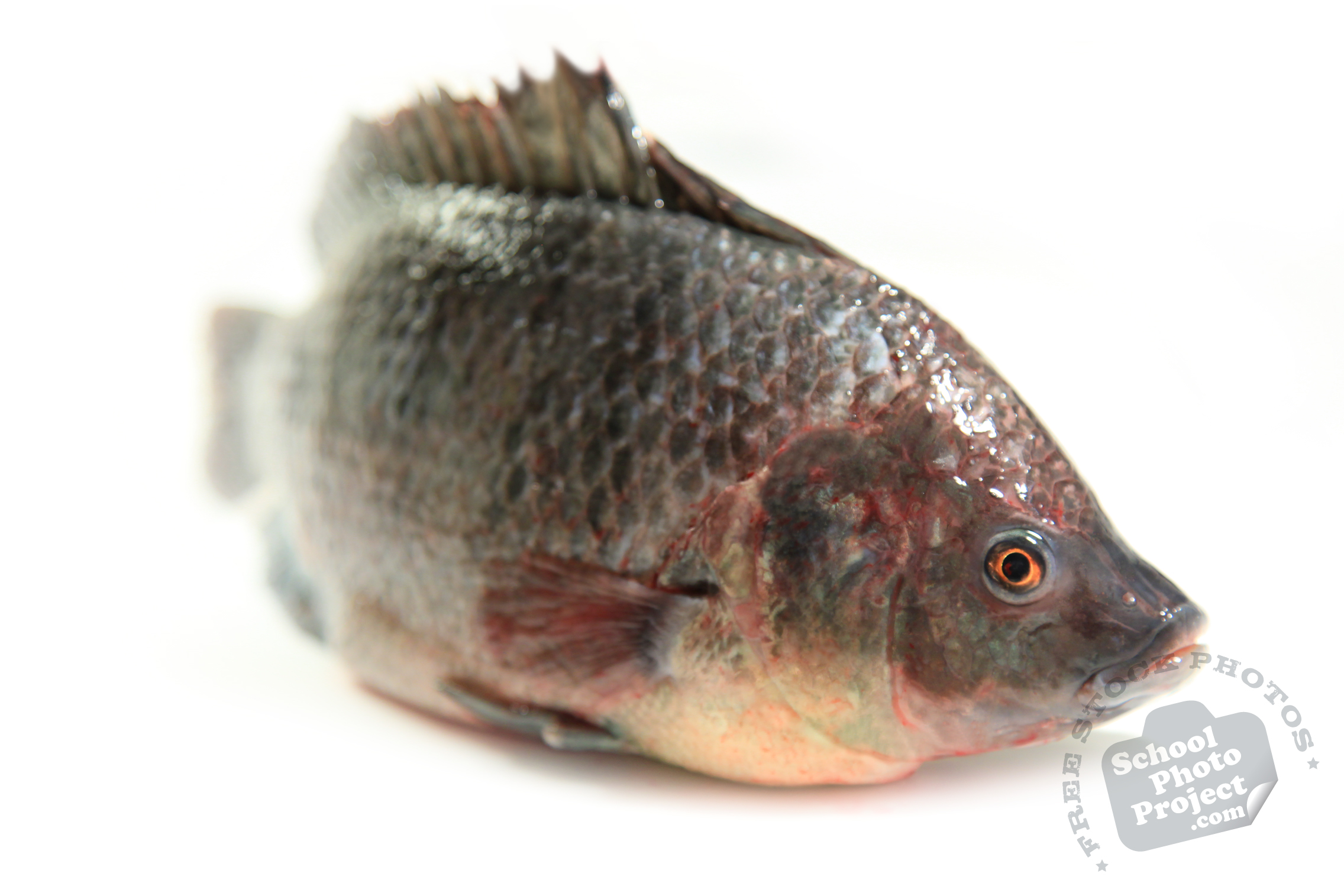 Fresh Water Fish Free Stock Photo Image Picture