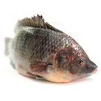tilapia, fresh water fish, prepared fish, seafood, free stock photo, picture, free images download, stock photography, royalty-free image