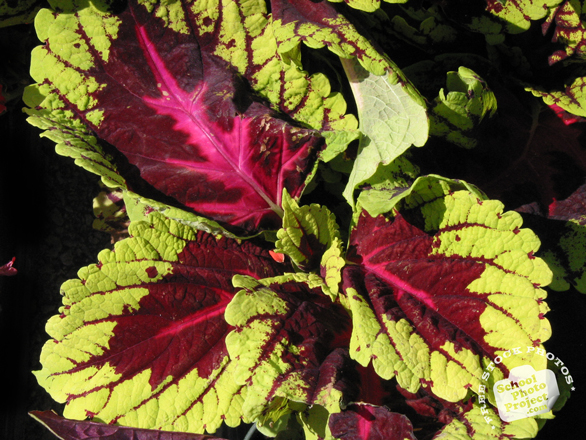 coleus, coleus colorful leaves, decorative plant, free stock photos, free pictures, free images download, stock photography, royalty-free image