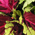coleus, coleus leaves, coleus colorful leaves, leaf, colorful leaves, colorful, plant, tree, photo, free photo, stock photos, royalty-free image