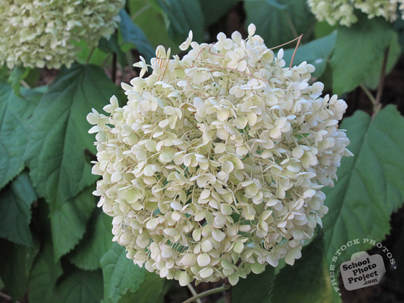 hydrangea flowers, white hydrangea photo, blooming flowers, decorative plant, free stock photos, free pictures, free images download, stock photography, royalty-free image