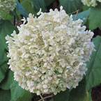 hydrangea, hydrangea flower, hydrangea photo, hydrangea picture, hydrangea image, flower, blooming flowers, blooms, plant, tree, photo, free photo, stock photos, royalty-free image