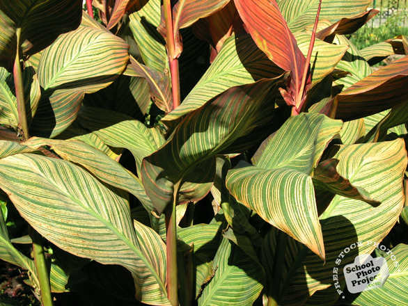maurelii, maurelii leaves, maurelii plant, decorative plant, free stock photos, free pictures, free images download, stock photography, royalty-free image