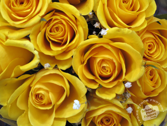 rose, yellow roses photo, fresh roses, blooming flowers, free stock photos, free pictures, free images download, stock photography, royalty-free image