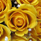 rose, yellow roses, rose photo, rose picture, flower, blooming flowers, blooms, plant, tree, photo, free photo, stock photos, royalty-free image