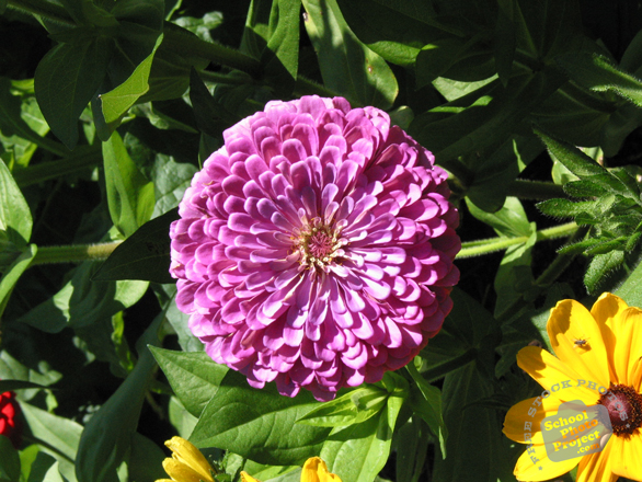 zinnia, pink zinnia, zinnia flower photo, garden flower, blooming flowers, free stock photos, free pictures, free images download, stock photography, royalty-free image