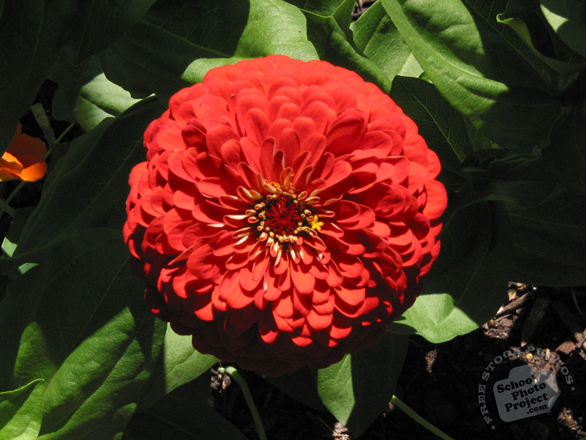 zinnia, red zinnia, zinnia flower photo, garden flower, blooming flowers, free stock photos, free pictures, free images download, stock photography, royalty-free image