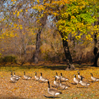 goose, Canada geese, maple, colorful autumn leaves, fall season foliage, sunny sky, panorama, nature photo, free stock photo, free picture, stock photography, royalty-free image