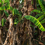 banana trees, banana leaves, tropical plants, nature photo, free stock photo, free picture, stock photography, royalty-free image