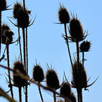 echinacea, plants, dried plants, bushes, silhouette, fall season, autumn, nature photo, free stock photo, free picture, stock photography, royalty-free image