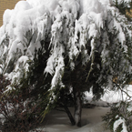snow covered tree, white tree, blizzard, snowstorm, winter season, nature photo, free stock photo, free picture, stock photography, royalty-free image