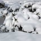 thick snow, holly tree, blizzard, snowstorm, winter season, nature photo, free stock photo, free picture, stock photography, royalty-free image