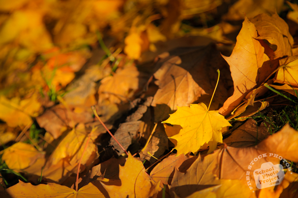 fall leaves, yellow leaves, fall foliage, autumn, season's greeting, seasonal picture, holidays celebration, free stock photo, free picture, stock photography, royalty-free image