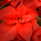 poinsettia, Christmas decoration, Christmas ornaments, Xmas celebration, religious holiday, seasonal picture, holidays celebration, free stock photo, free picture, stock photography, royalty-free image