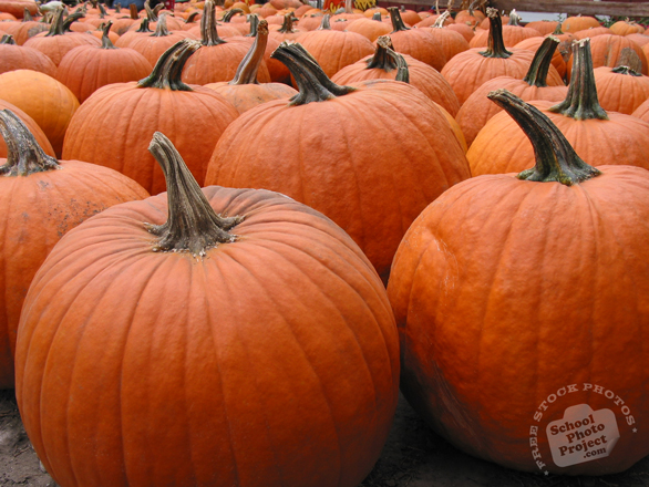 pumpkin, gourds, giant pumpkin, pumpkin farm, pumpkin patch, Halloween pumpkin, Halloween celebration, seasonal picture, holidays celebration, free stock photo, free picture, stock photography, royalty-free image