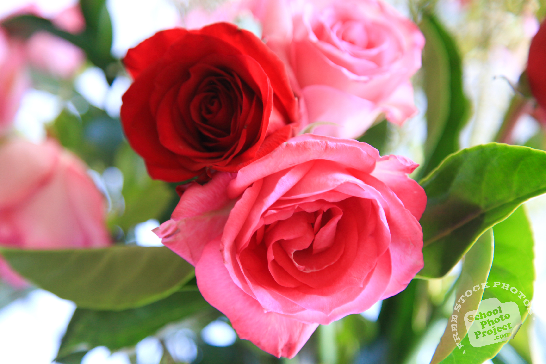 Roses Free Stock Photo Image Picture Valentine S Day Fresh Red