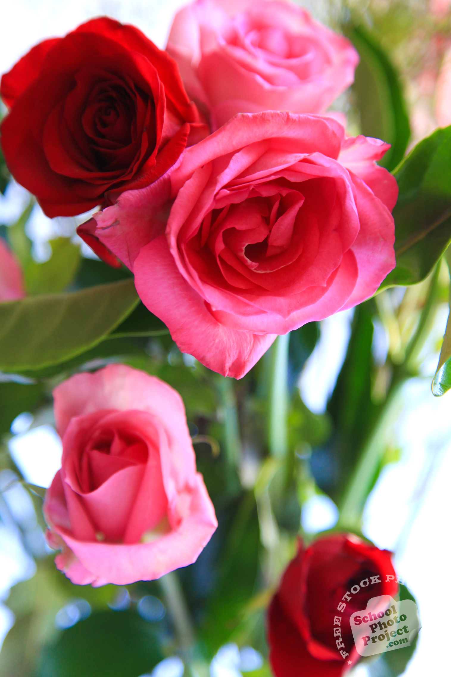 rose flower free stock photo image picture valentine u0027s day red