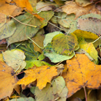 dried leaves, leaves texture picture, free stock photo, royalty-free image
