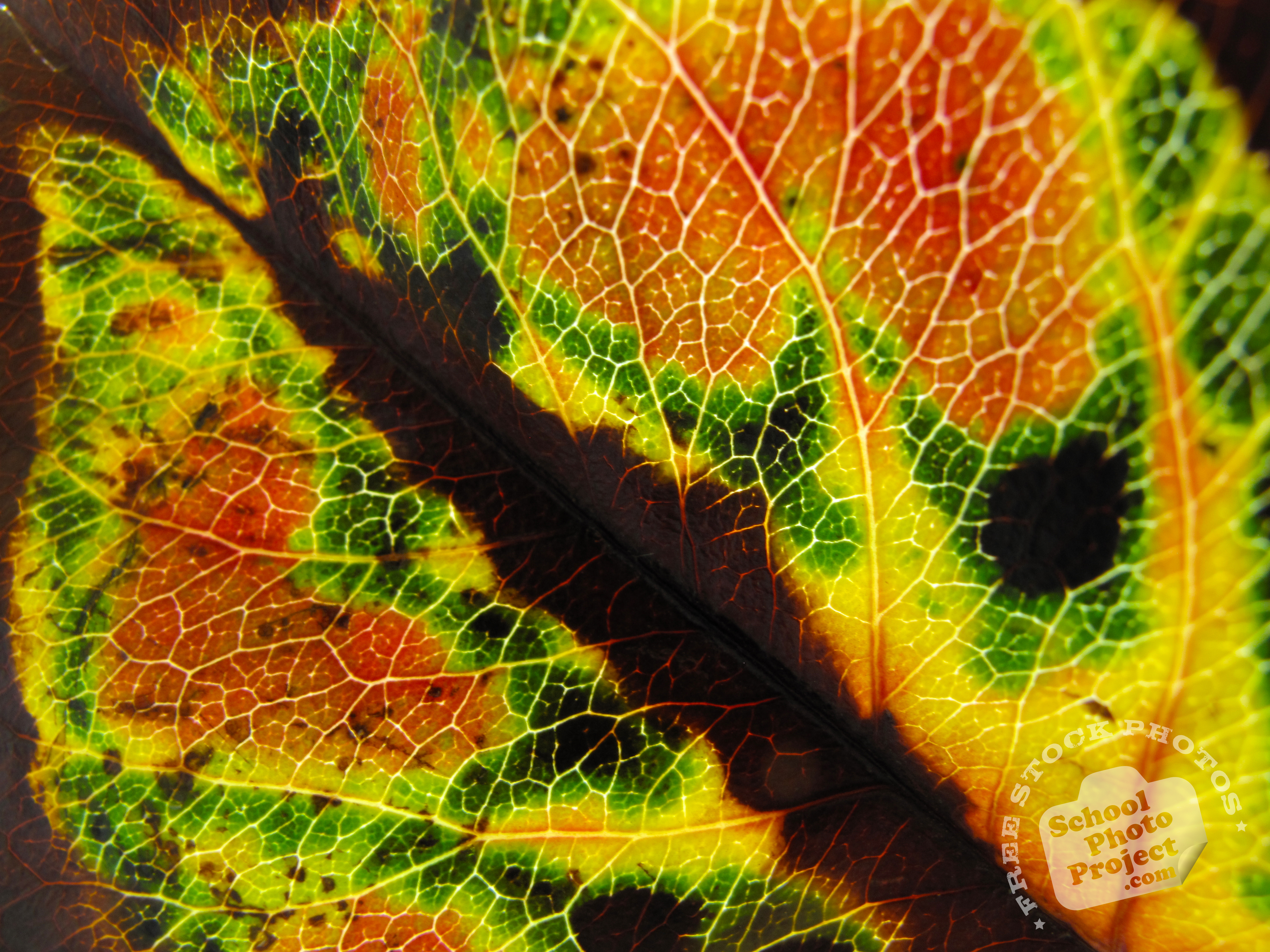 leaf vein free stock photo image picture autumn leaf vein