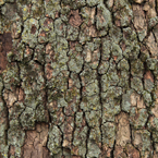 tree bark, bark texture picture, free stock photo, royalty-free image