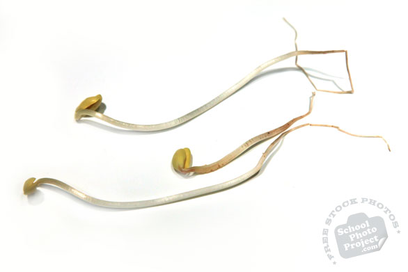 soy bean sprout, fresh young sprouts, vegetable photos, veggie, free stock photo, royalty-free image