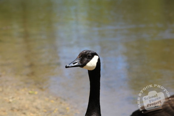 Canada goose, goose head, wild bird, free animal stock photo, royalty-free image
