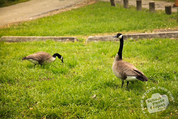 Canada goose, wild bird, looking for food, green grass, free animal stock photo, royalty-free image