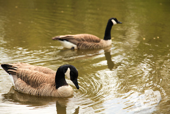 Canada goose, swimming goose, wild bird, free animal stock photo, royalty-free image
