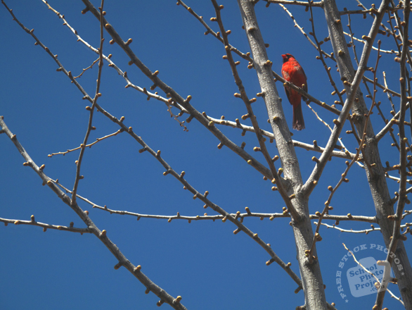 cardinal, cardinal bird photo, red cardinal, bird, animal, photo, free photo, stock photos, royalty-free image