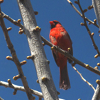 cardinal, red cardinal, bird, animal, photo, free photo, stock photos, royalty-free image