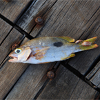 fish, dead fish, seafood, salt water fish, animal, free photo, free images, stock photos, images for free, free stock graphics, photo stock image, royalty-free image, free download image