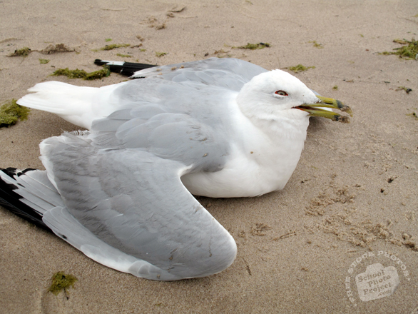 seagull, laridae, dying seagull, seagull photo, dead bird picture, bird images, carcase, animal photo, free photo, stock photos, royalty-free image, free download image, stock images for free, stock photography images