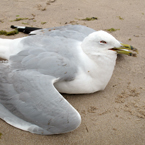 seagull, dying seagull, seagull photo, dead bird picture, bird images, carcase, animal photo, free photo, stock photos, royalty-free image, free download image, stock images for free, stock photography images