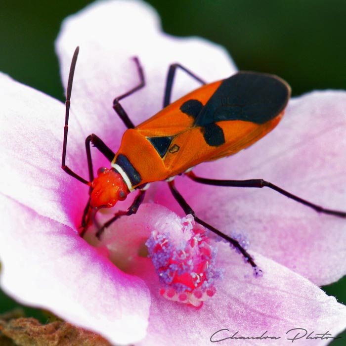 firebug, fire bug, firebug sucking flower nectar, insect, macro photography, green leaves, free insect stock photo, royalty-free image, Chandra Photos