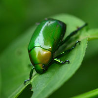 green beetle, insect, macro photography, free photo, stock photo, free picture, royalty-free image