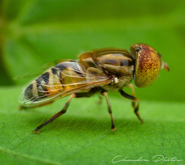 fly, hoverfly, hover fly, flower fly, hoverfly on leaf, insect, macro photography, green leaves, free insect stock photo, royalty-free image, Chandra Photos