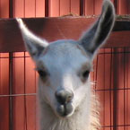 llama, animal, photo, free photo, stock photos, royalty-free image