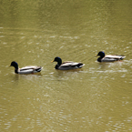 mallard duck, wild bird, swimming duck, free animal stock photo, royalty-free image