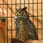 owl, adult owl, caged bird, free animal stock photo, royalty-free image