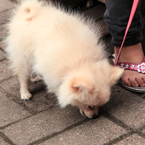 pomeranian dog, pet dog, free animal stock photo, royalty-free image