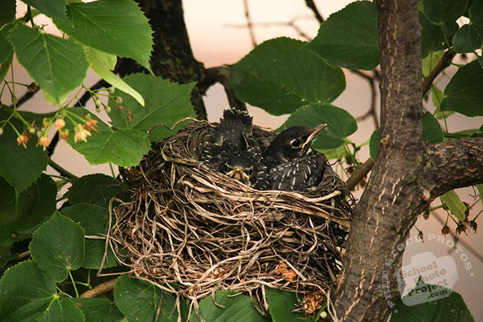 robin bird, robin bird chicks, young American robins, baby robins, robin's nest, bird nest, tree, green leaves, free animal stock photo, royalty-free image