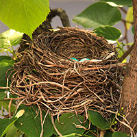 robin bird nest, robin eggs, blue egg, free animal stock photo, royalty-free image