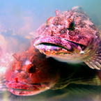 fish, stone fish, stonefish, rock fish, synanceia, lion fish, venomous fish photo, poisonous fish, camouflaged fish picture, saltwater fish images, animal photo, free photo, stock photos, royalty-free image, free download image, stock images for free, stock photography images