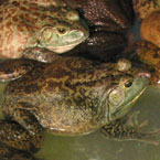frog, toad, amphibian, animal, photo, free photo, stock photos, royalty-free image