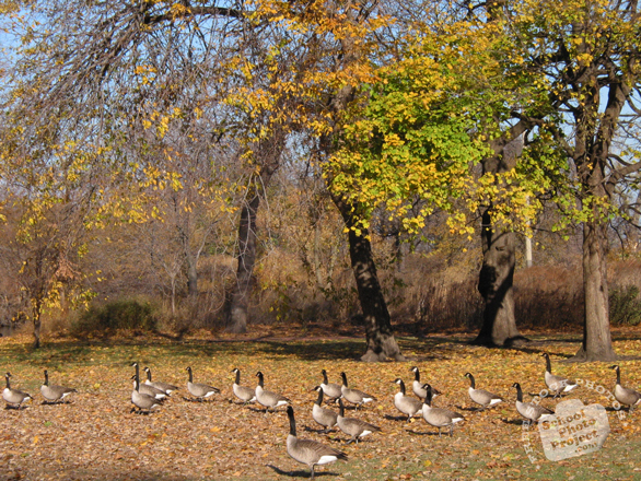 goose, goose photo, Canada goose, wild goose, bird, animal, wild animal, photo, free photo, stock photos, royalty-free image