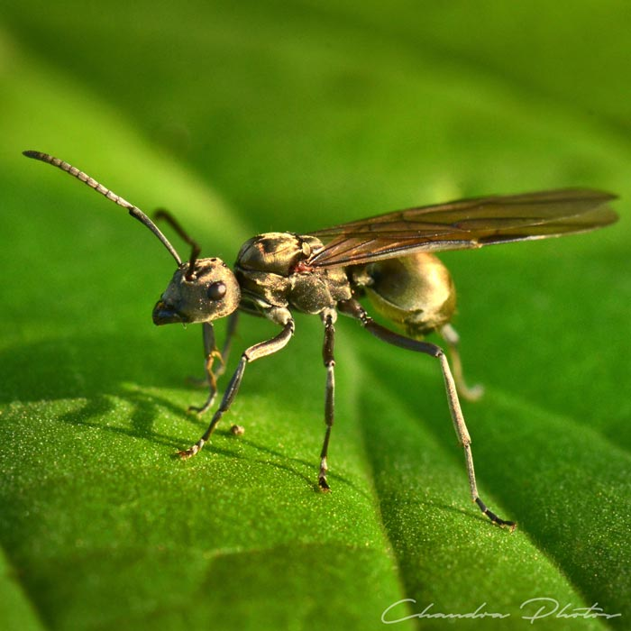 flying ant, winged ant, winged ant on leaf surface, pest insect, macro photography, green leaves, free insect stock photo, royalty-free image, Chandra Photos