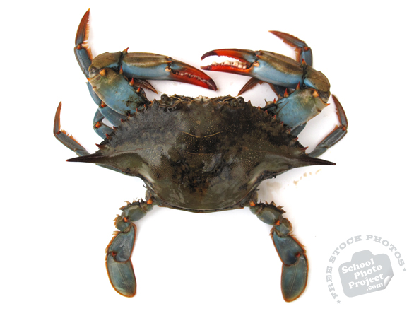 blue crab, crab, blue crab photo, crab picture, fish, seafood, animal, free foto, free photo, stock photos, picture, image, free images download, stock photography, stock images, royalty-free image