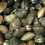 clam, clams, clam photo, shell fish, fish, seafood, animal, photo, free photo, stock photos, royalty-free image