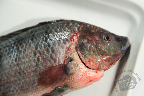 tilapia, cleaned fish, dead fish, seafood, fresh water fish, free stock photo, picture, free images download, stock photography, royalty-free image