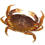 dungeness crab, crab, crab photo, fish, seafood, animal, photo, free photo, stock photos, royalty-free image